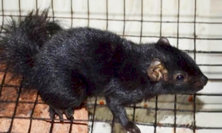 Kerala team upbeat after documenting 1st black palm squirrel in subcontinent