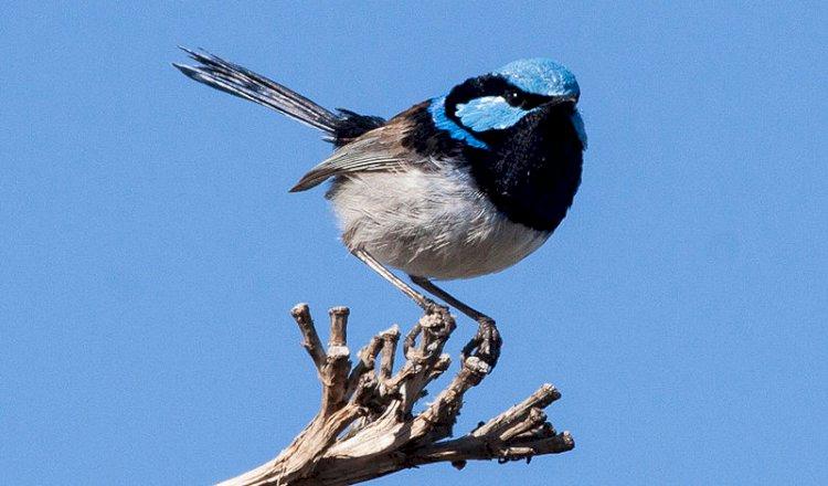 Australia names fairywren Bird of the Year