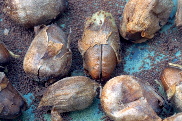 Humans used tobacco 12,300 years ago, seeds suggest